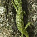 Image of Arboreal alligator lizards