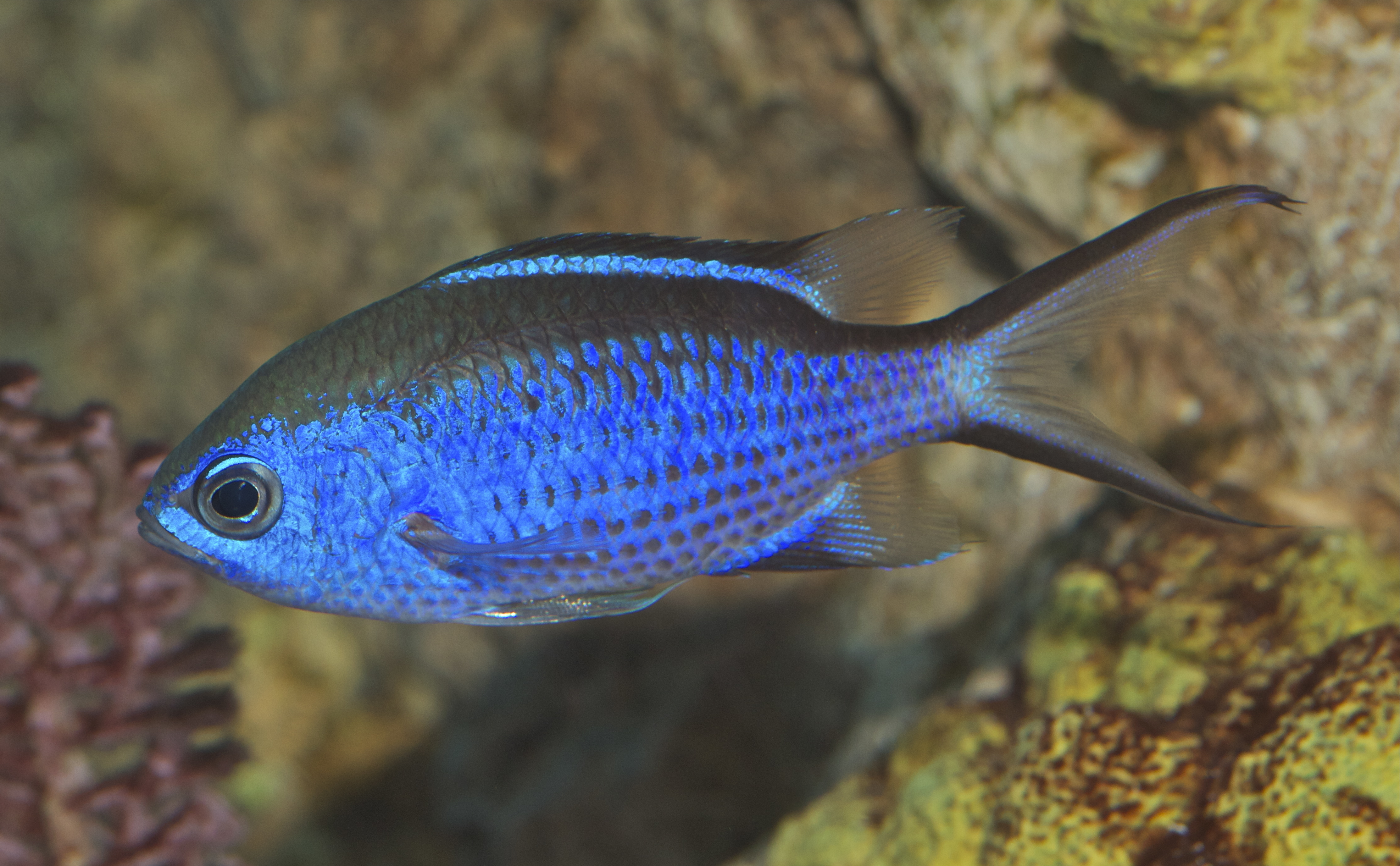 Image of Blue Chromis