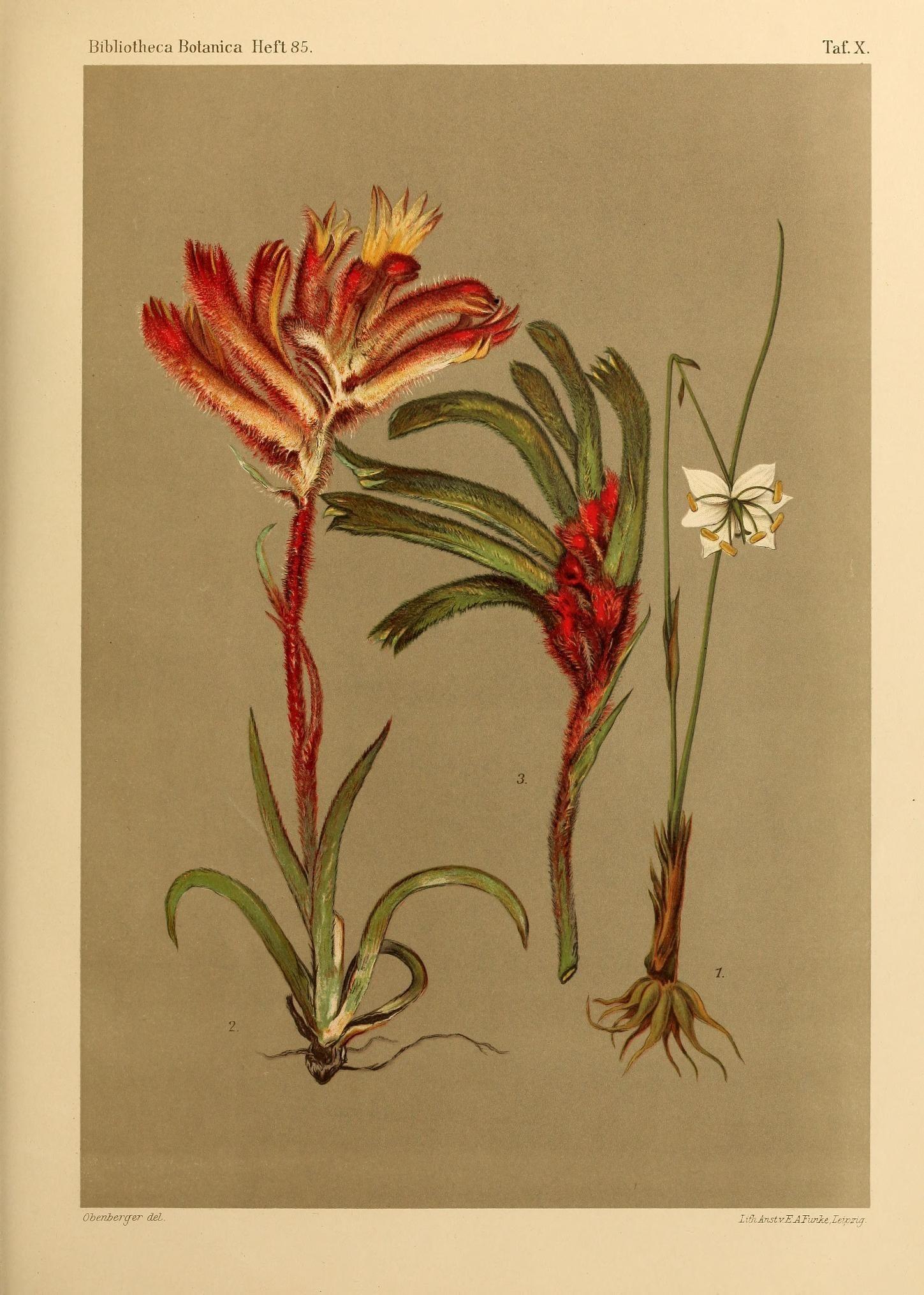 Image of <i>Burchardia monantha</i> Domin
