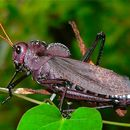 Image of lubber grasshopper