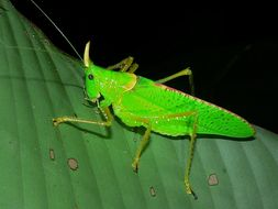 Image of Rhinoceros Katydid