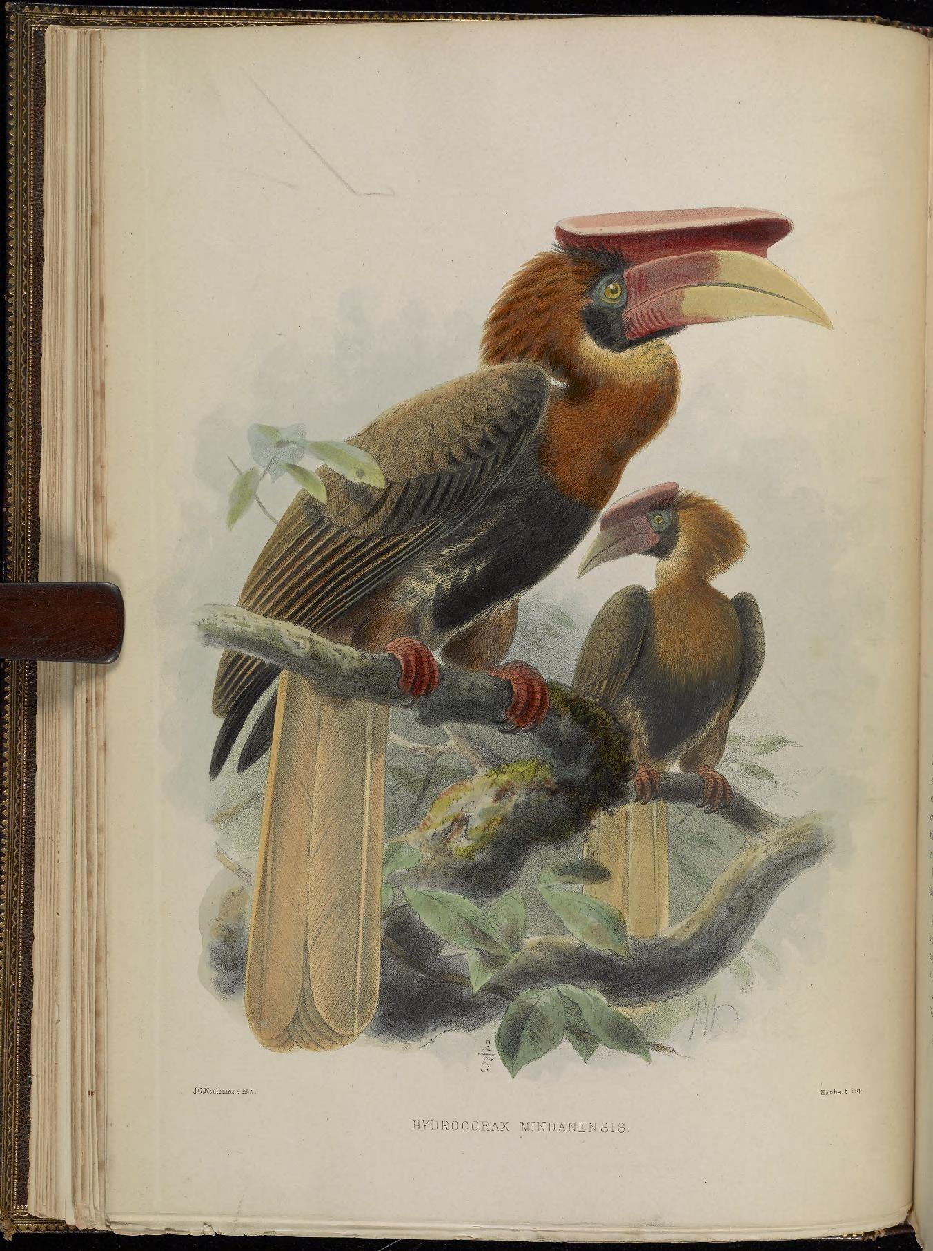 Image of <i>Buceros hydrocorax mindanensis</i> Tweeddale 1877