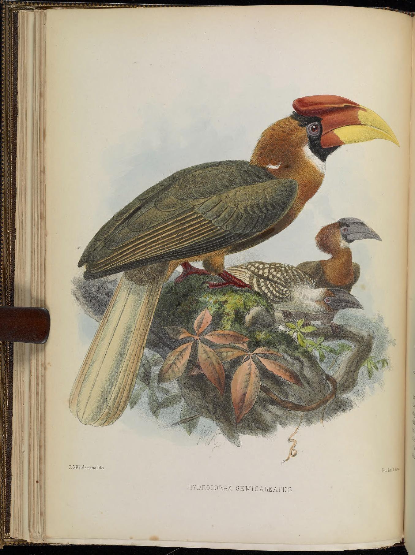 Image of <i>Buceros hydrocorax semigaleatus</i> Tweeddale 1878