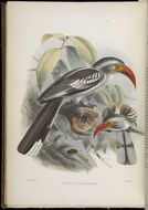 Image of Northern Red-billed Hornbill