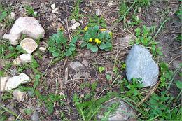 Image of Utah violet
