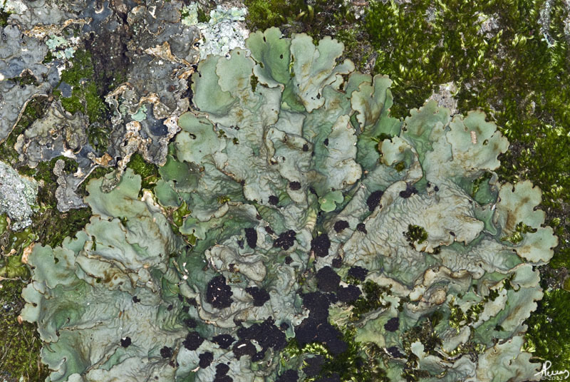 Image of <i>Lobaria amplissima</i> (Scop.) Forssell