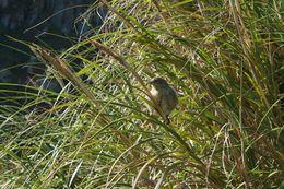 Image of Nightingale Bunting