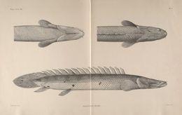 Image of <i>Polypterus bichir</i> Lacepède 1803