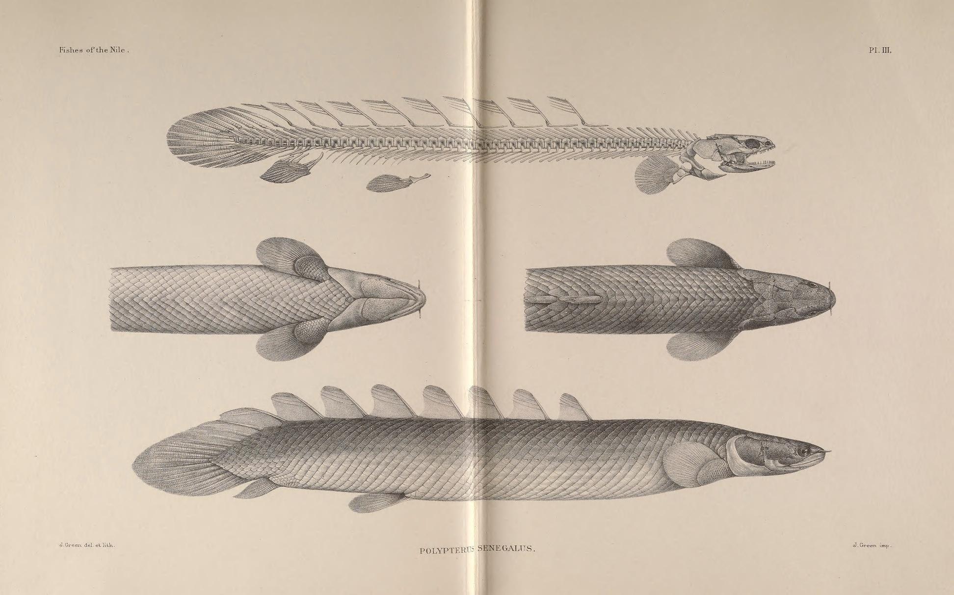 Image of Gray bichir