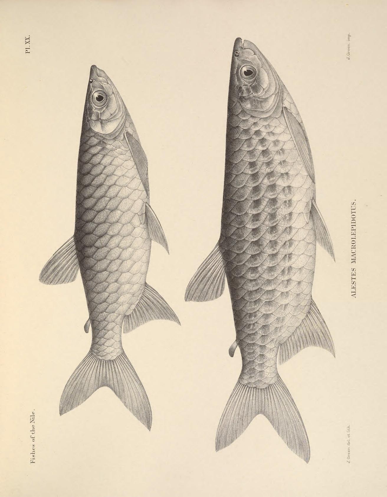 Image of <i>Alestes macrolepidotus</i>
