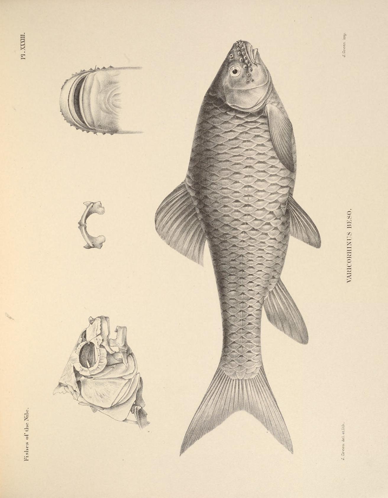Image of <i>Varicorhinus beso</i>