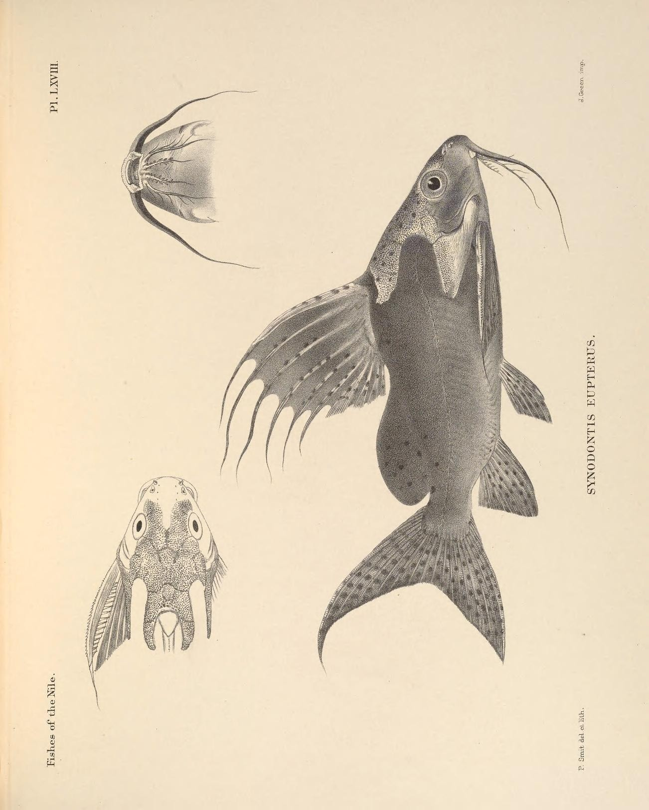 Image of Featherfin squeaker