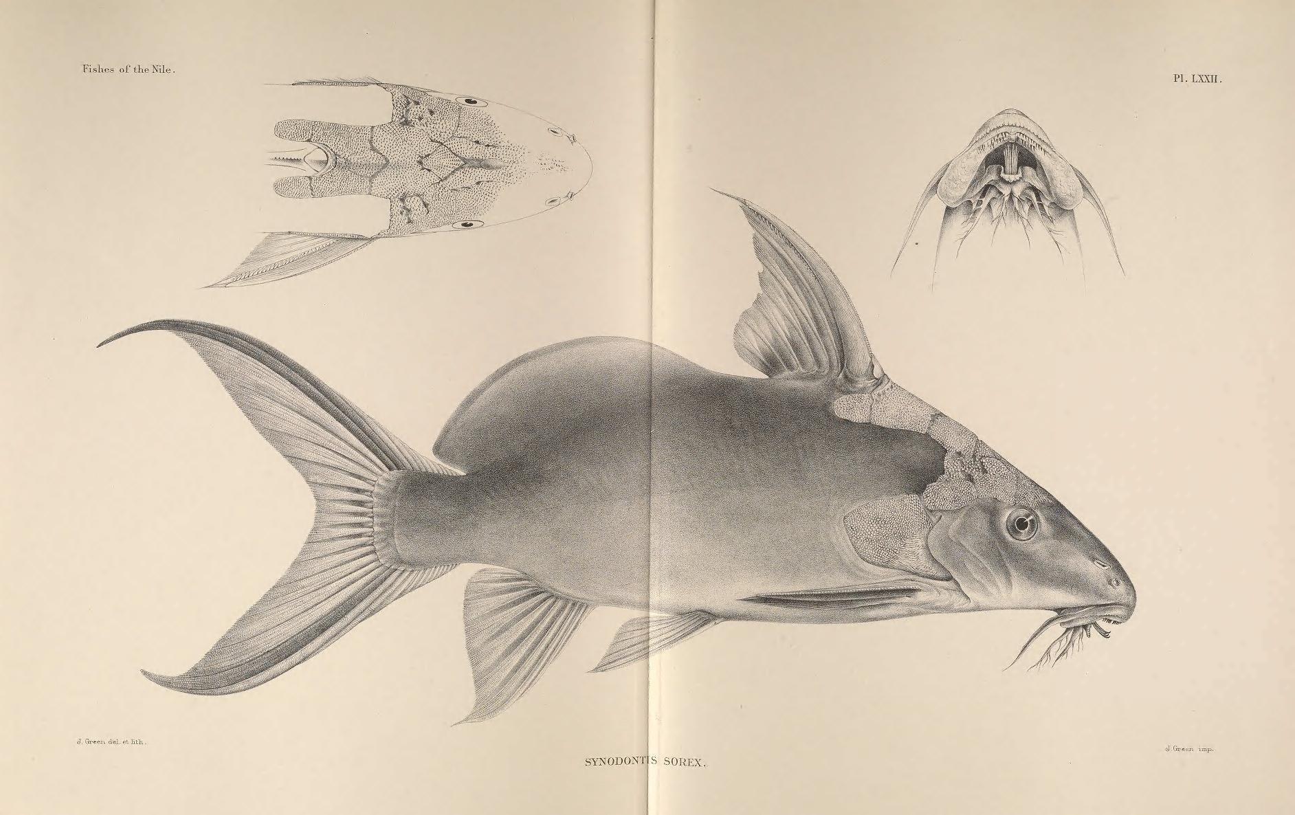 Image of <i>Synodontis sorex</i> Günther 1864