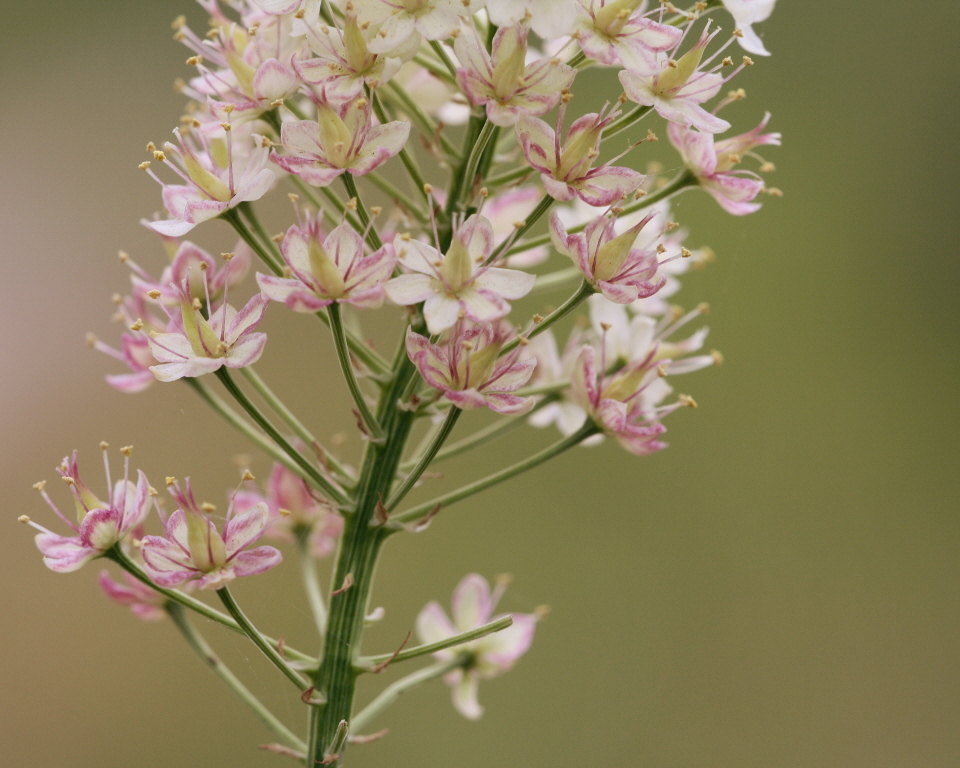 Image of Osceola's-Plume