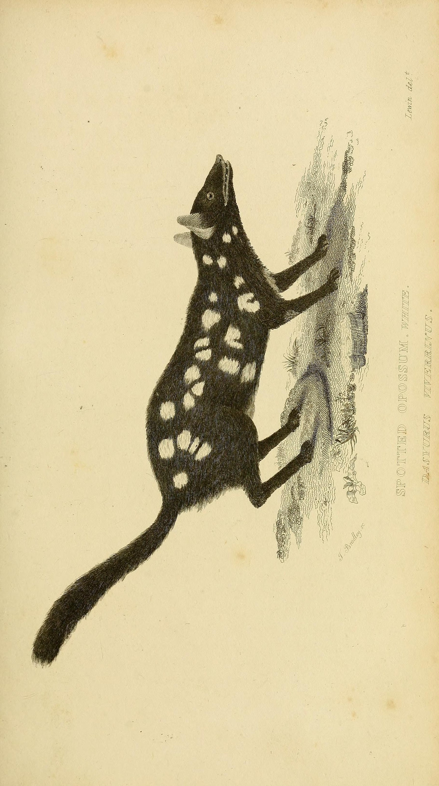 Image of Eastern Quoll