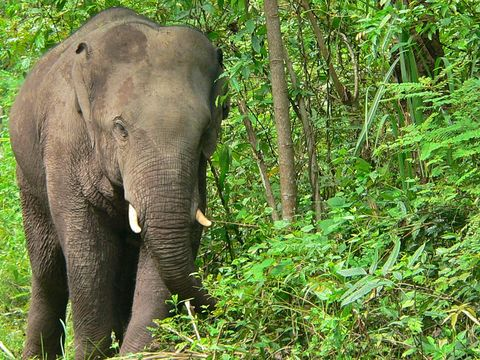 Image of Asian elephant