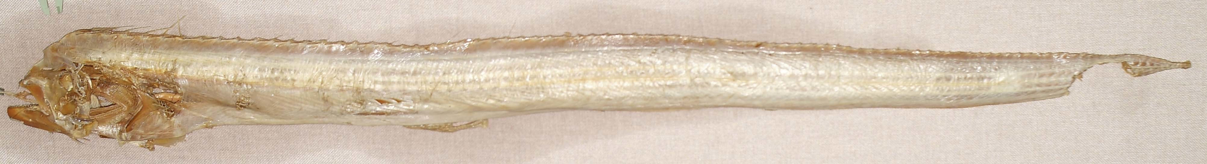 Image of Channel Scabbardfish