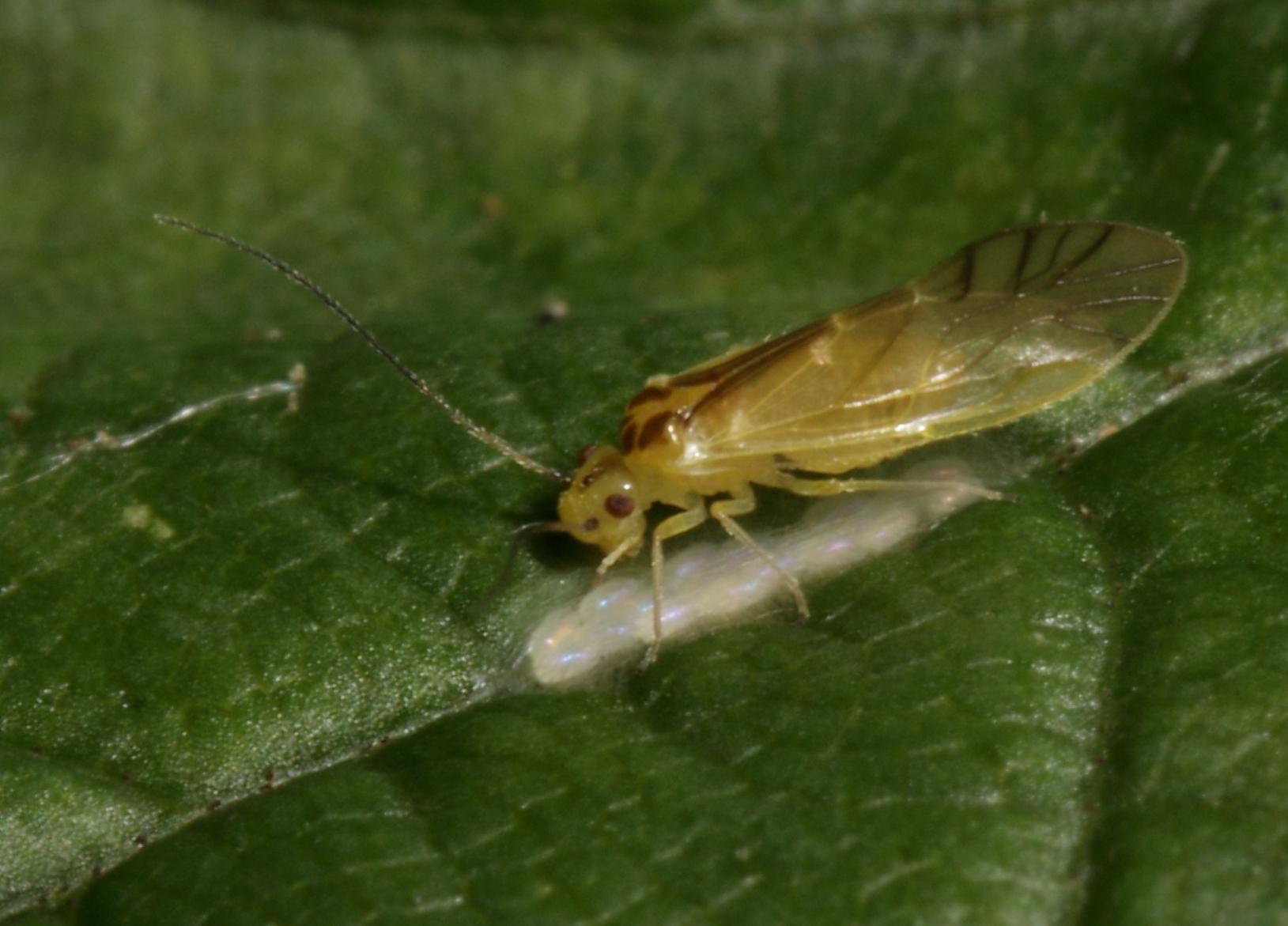 Image of <i>Valenzuela flavidus</i> (Stephens 1836)