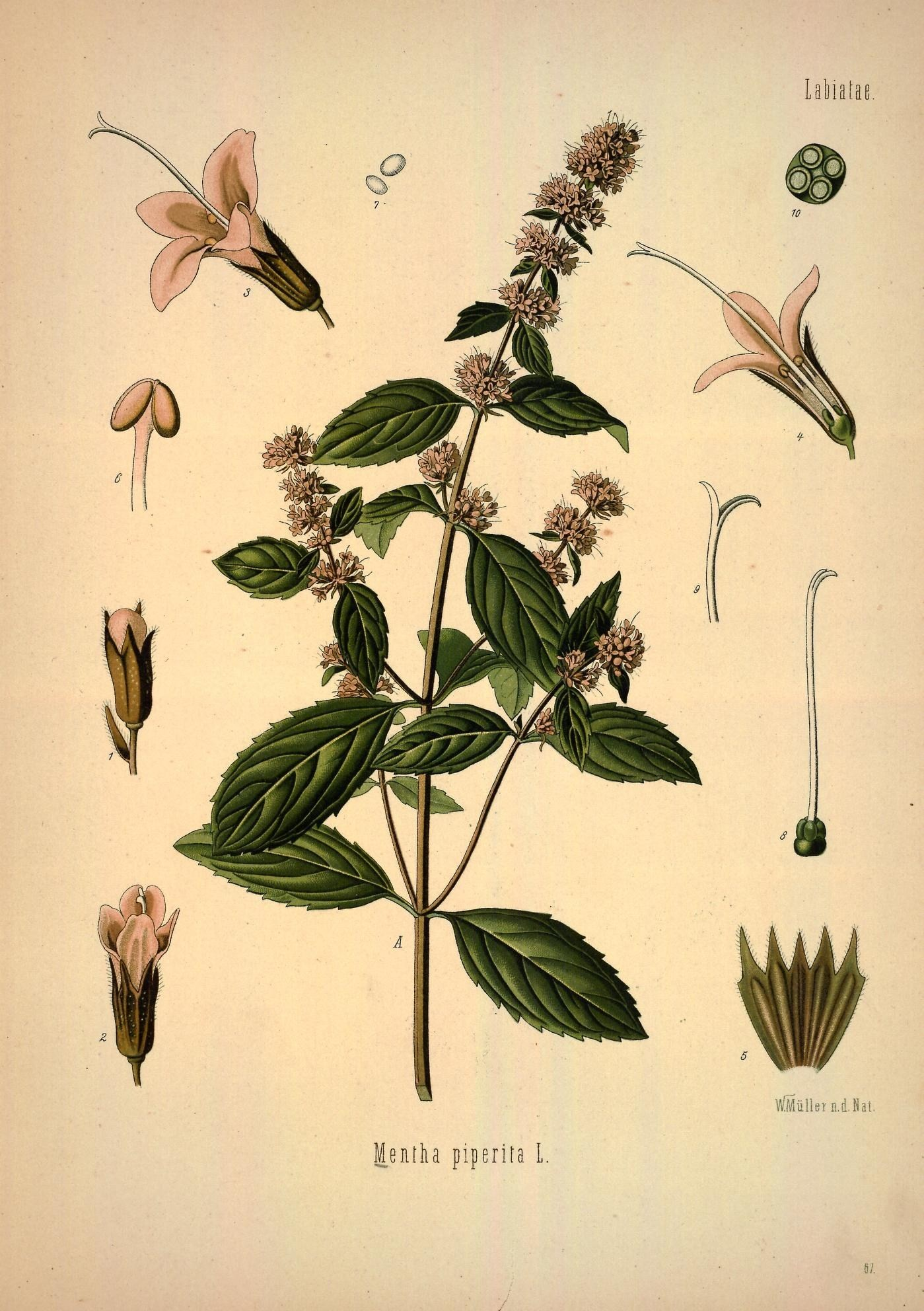 Image of <i>Mentha piperita</i>