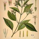 Image of quinine