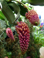 Image of <i>Robiquetia cerina</i> (Rchb. fil.) Garay