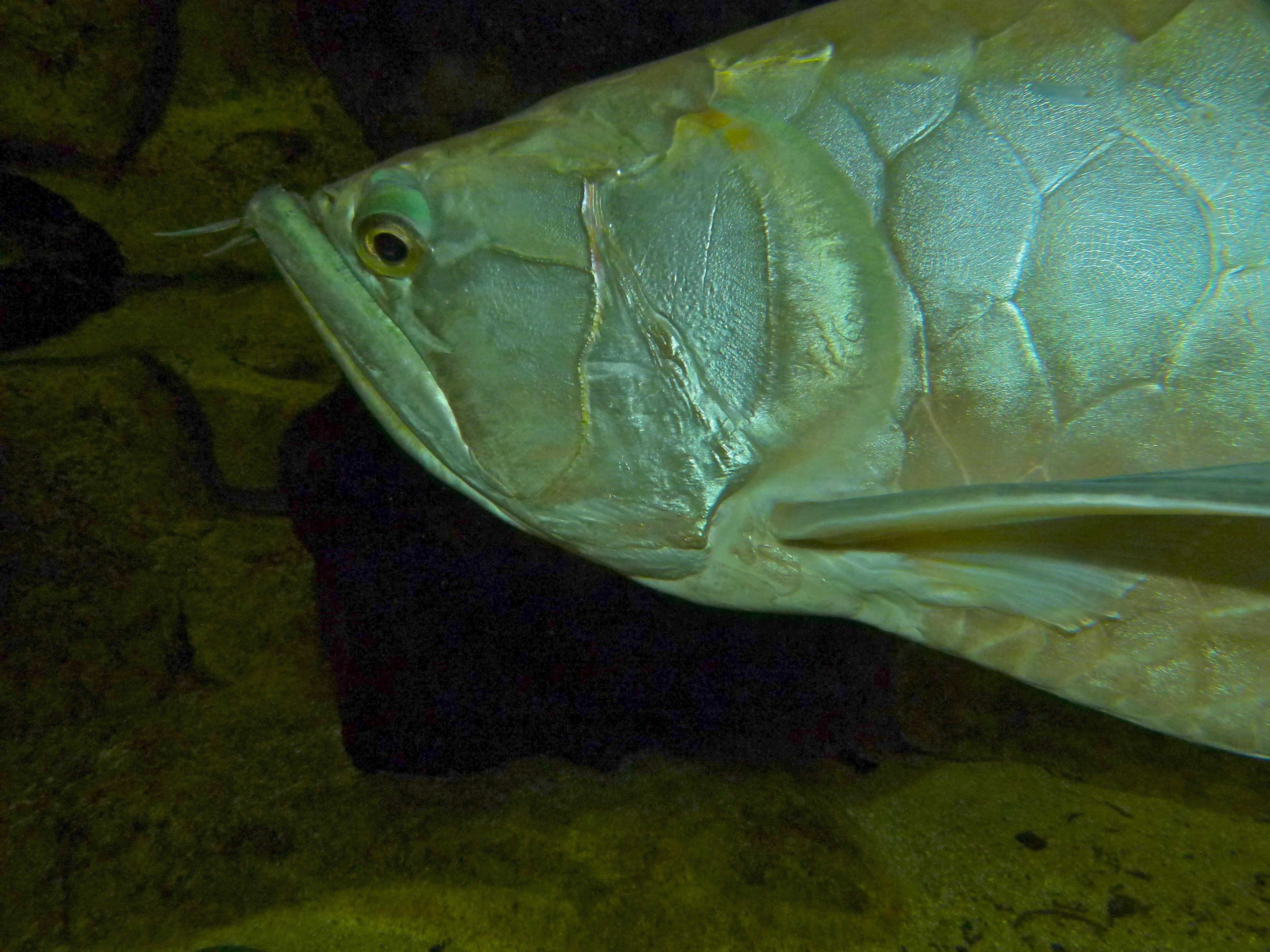 Image of Silver arowana
