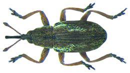 Image of Seed-feeding Weevil