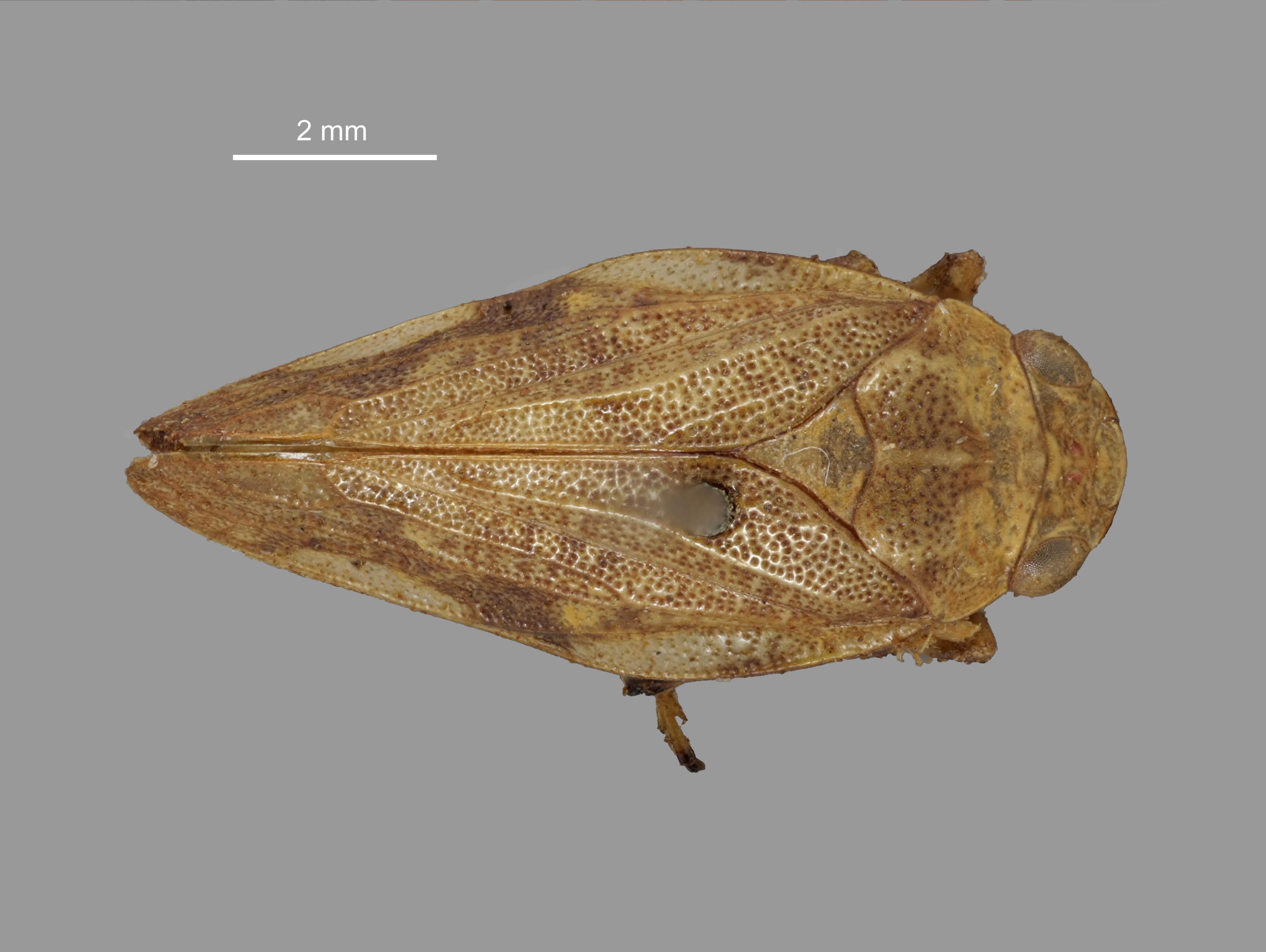Image of <i>Pseudaphronella jactator</i> (White 1879)