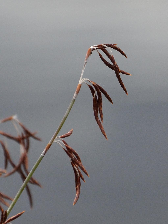 Image of <i>Apodasmia brownii</i> (Hook. fil.) B. G. Briggs & L. A. S. Johnson
