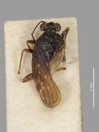 Image of <i>Saldula australis</i> (White 1876)
