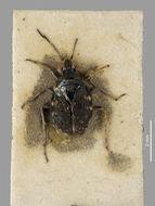 Image of <i>Kiwisaldula butleri</i> (White 1878)