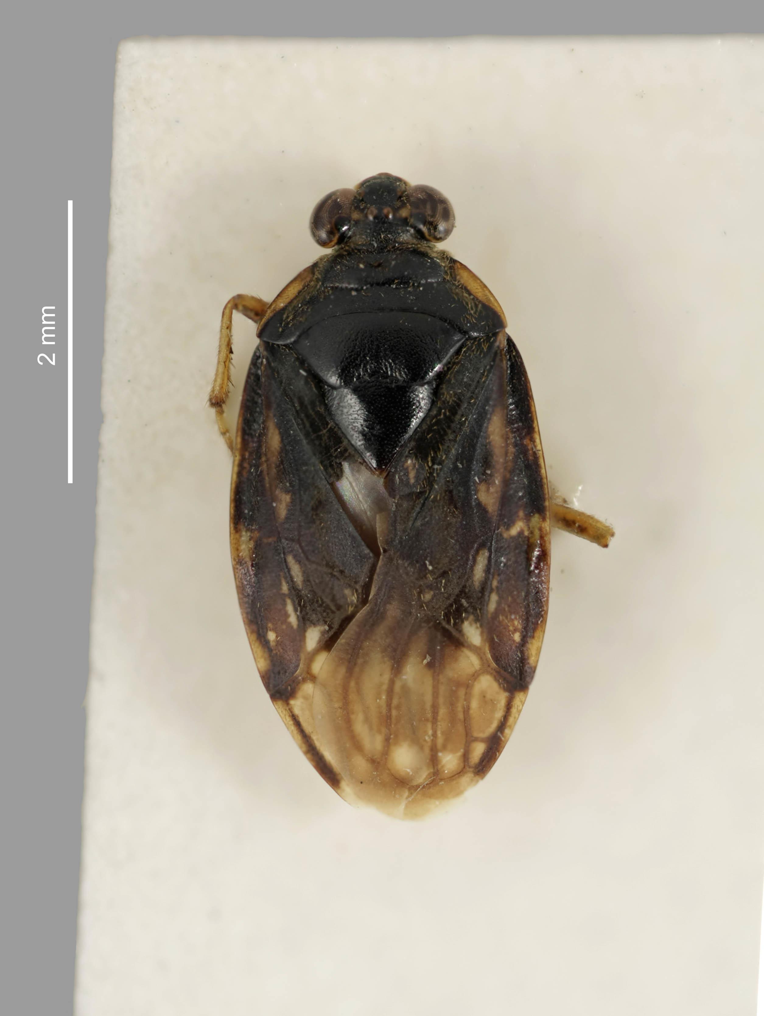 Image of <i>Kiwisaldula laelaps</i> (White 1878)