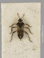 Image of <i>Microvelia</i> (<i>Pacificovelia</i>) <i>vagans</i> White 1878