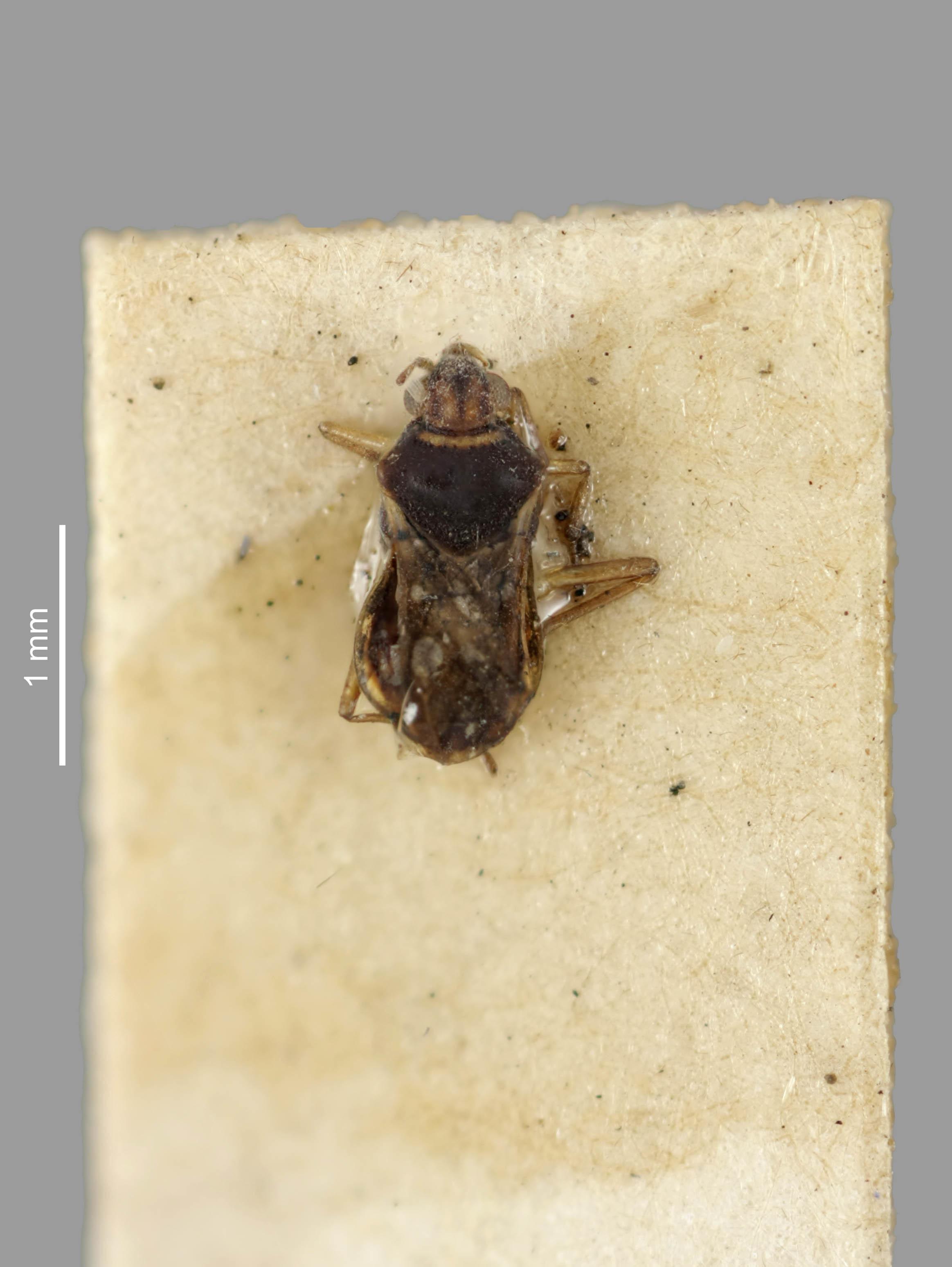 Image of <i><i>Microvelia</i></i> (Microvelia) <i>mimula</i> White 1879