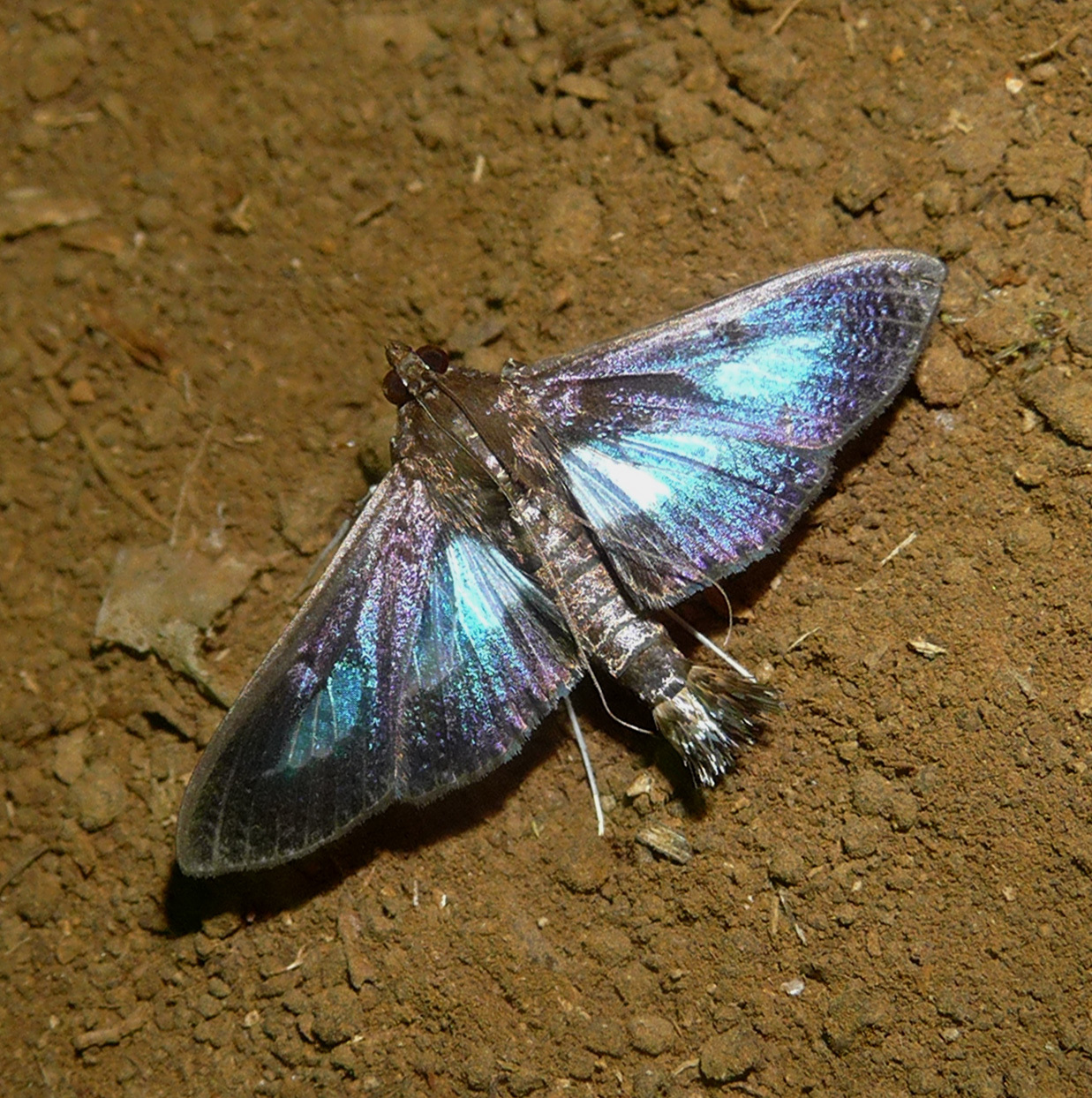 Image of Pickleworm Moth