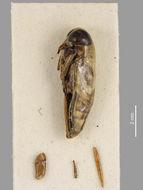 Image of <i>Anisops assimilis</i> White 1878