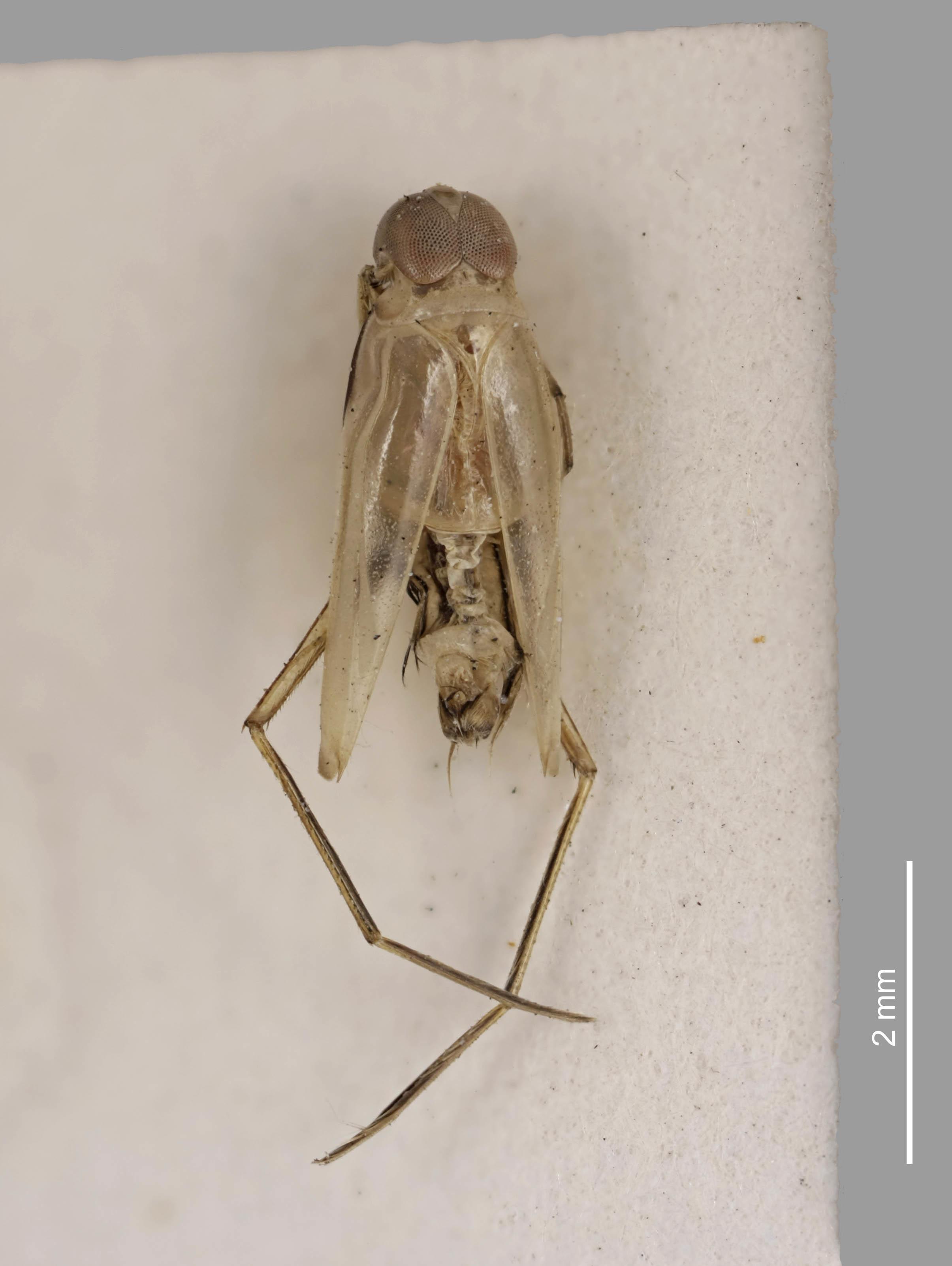 Image of <i>Martarega membranacea</i> White 1879
