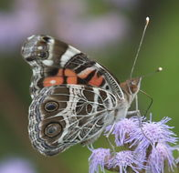 Image of American Painted Lady