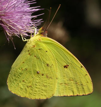Image of Cloudless Sulphur
