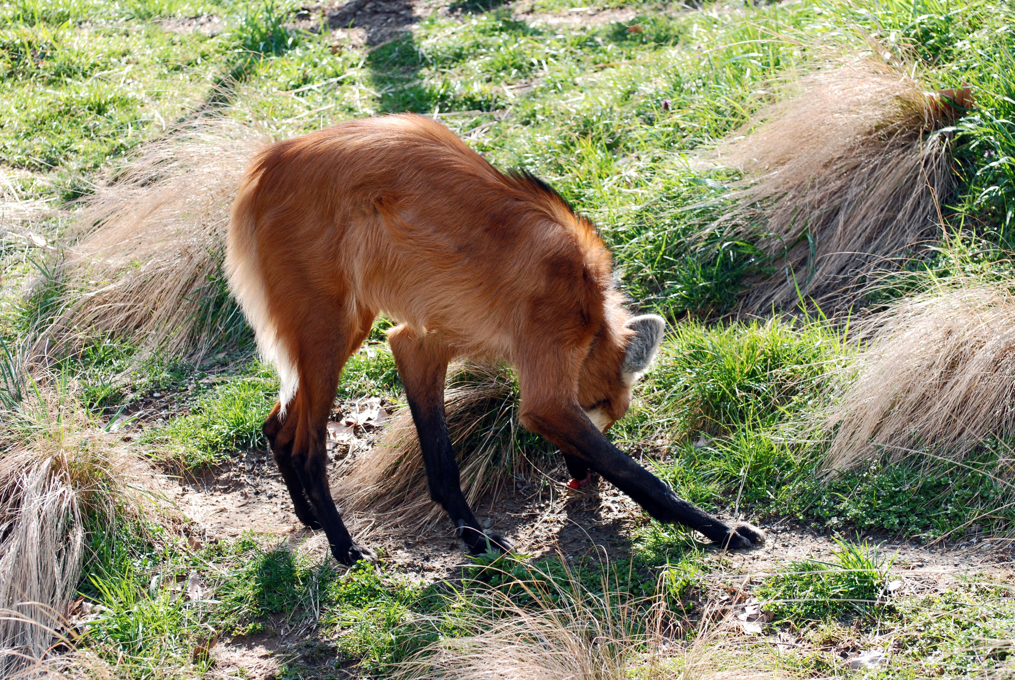 Image of Maned Wolf