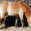Image of Asian Wild Horse