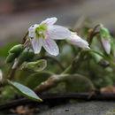 صورة <i>Claytonia caroliniana</i> Michx.