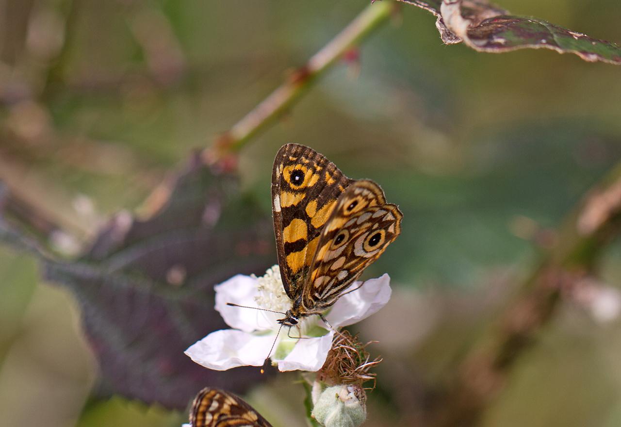 Image of <i>Oreixenica lathoniella herceus</i>