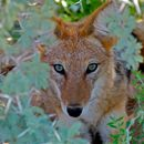 Image of Black-backed Jackal