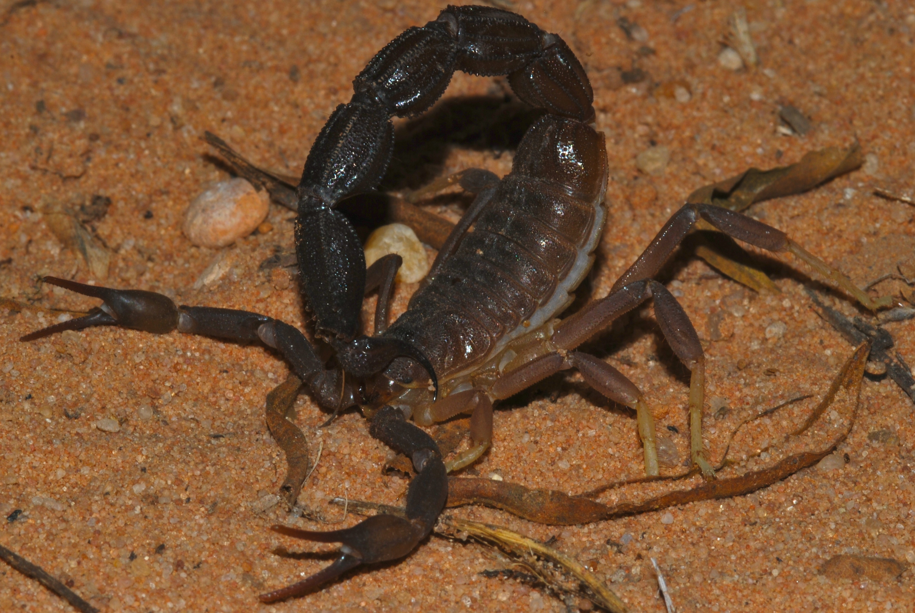 Image of Rough thicktail scorpion