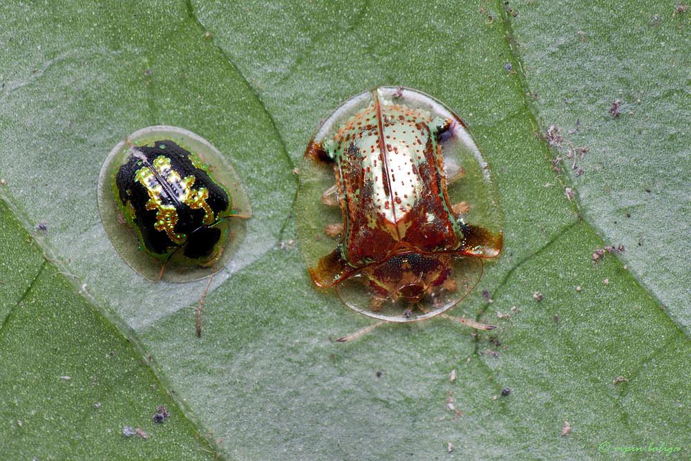 Image of Tortoise beetle