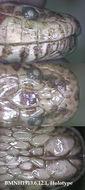 Image of Blanford's mud snake