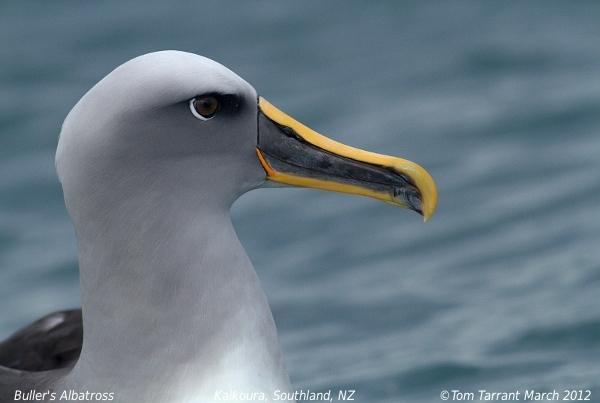 Image of Buller's Albatross
