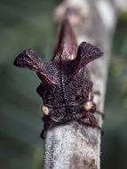 Image of <i>Ceraon tasmaniae</i> Fairmaire