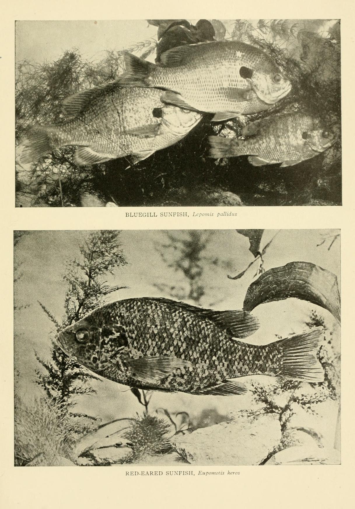 Image of Bluegill sunfish
